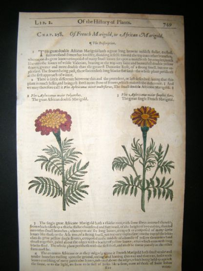 Gerards Herbal 1633 Hand Col Botanical Print. African & French Marigold | Albion Prints